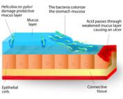 Bacteria Colonize Mucose